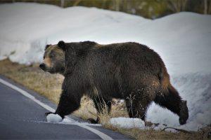 grizzlies increasing